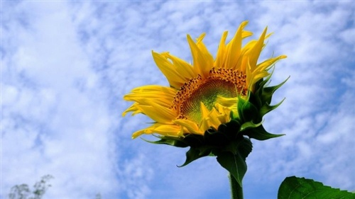 发朋友圈向日葵的句子 向日葵发朋友圈文字